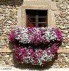 Sprzedaż kwiatów rabatowych,balkonowych,surfinie,cynie,lobelie poszukuję Meble / Dom / Ogród
