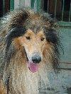AMADOR piękny i mądry pies rasy owczarek collie Zdjęcie