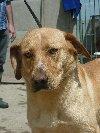 ZŁOTEK młody i piękny pies podobny do labradora szuka przyjaciela  poszukuję Psy / Szczeniaki