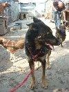 SUNIA piękna i mądra suczka w typie owczarka niemieckiego szuka dom poszukuję Psy / Szczeniaki