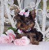Ładne szczenięta yorkshire terrier. poszukuję Psy / Szczeniaki