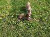 szczeniaki pitbull Zdjęcie